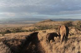 A female elephant feeds her cub in the Lewa Wildlife Conservancy