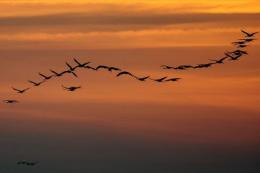 A flock of cranes pass over an area of wetland, a key habitat for many endangered bird populations