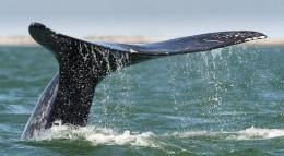 A grey whale's flukes