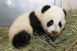 A Handout picture released Monday by the Zoo of Vienna shows a panda cub,  born on August at the zoo