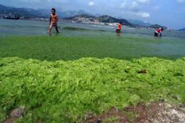 Algae blooms are typically caused by pollution in China and suck up huge amounts of oxygen needed by marine wildlife