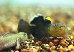 A love game: Fish courtship more complex than thought