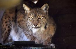 A lynx is pictured at a zoo