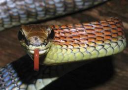 Amorous slug, orange snake among finds on Borneo (AP)