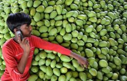 An Indian farmer talks on his mobile phone as he rests on a pile of mangoes