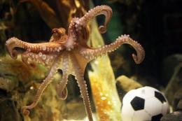 An octopus named Paul swims past a football in his aquarium