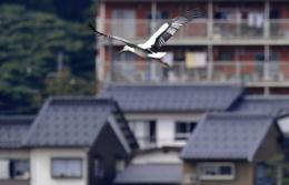 An oriental white stork flies over a park in Toyooka, Hyogo Prefecture