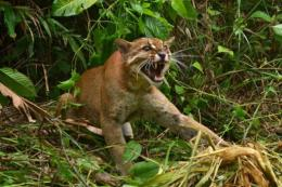 A rare Asian golden cat in Malaysia