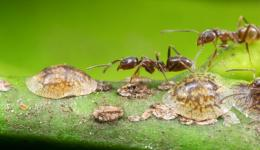 Argentine ant genome sheds light on a successful pest