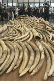 Asian ivory trade poses danger to African elephant (AP)
