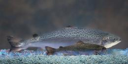 A size comparison of an AquAdvantage® Salmon (background) versus a non-transgenic Atlantic salmon of the same age