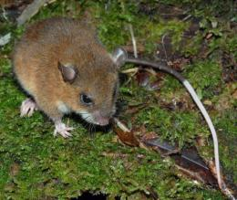 A species of montane mouse documented in Papual New Guinea