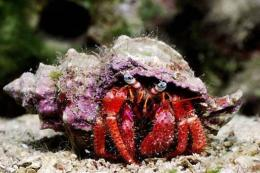 A spotted hermit crab walks in the depths of the Mediterranean Sea