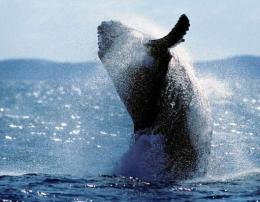 A young adult humpback whale in Australia's Hervey Bay Marine Park off Fraser Island, north of Brisbane