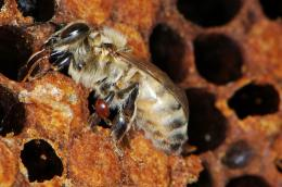 Bee scientists force killer mites to self destruct