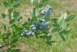 'Blue Suede' premiers: New blueberry recommended for home gardeners