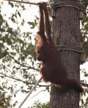 Bridges built to help Borneo orangutans meet mates (AP)