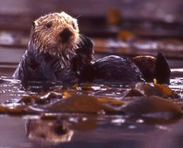 California sea otter numbers drop again