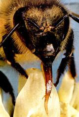 Closeup of bee proboscis.  Image: Ken Chang, Studies In Animal Behavior