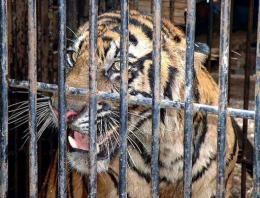 Conservationists believe there are fewer than 400 Sumatran tigers left in the wild