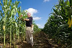Corn lines resist fungal toxins
