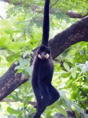 Crested gibbons are found only in Vietnam, Laos, Cambodia and southern China