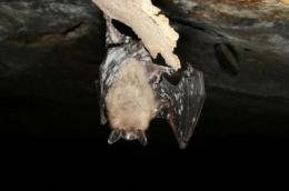 Death in the bat caves: UC Davis experts call for action against fast-moving disease