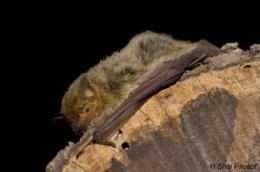 Desert bats reveal the secret of their survival