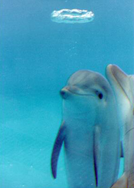 Dolphin cognitive abilities raise ethical questions, says Emory neuroscientist
