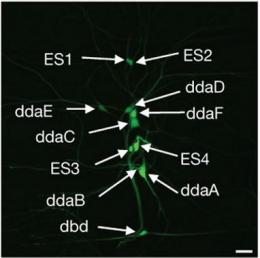 Fruit fly larvae detect light via body's network of photoreceptors