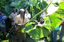 Efforts underway to rescue vulnerable bananas, giant swamp taro, other Pacific Island crops