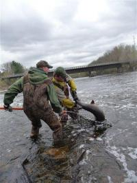 Endangered sturgeon fish flourishing in Wisconsin (AP)