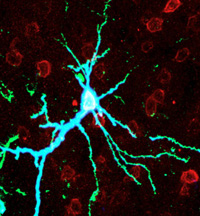 Enzyme enhances, erases long-term memories in rats