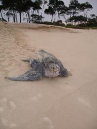 Epic journeys of turtles revealed