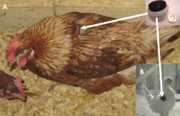 MSU studies use of wireless sensors to monitor chicken well-being