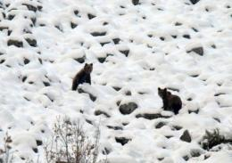 Female Cantabrian bears and their young do not hibernate