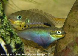 Female fish flaunt fins to attract a mate