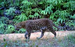 First image of a spotted leopard in the Endau-Rompin national park