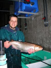 Fishy consequences of transplanting trout, salmon, whitefishes