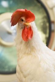Flaxseed-fed chickens shed light on ovarian cancer