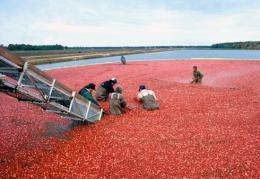 Floating cranberries are harvested in a flooded bog