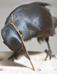 Foraging for fat: Crafty crows use tools to fish for nutritious morsels
