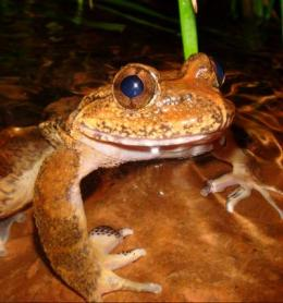Frogs evolution tracks rise of Himalayas and rearrangement of Southeast Asia