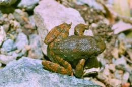 Frog skin may provide 'kiss of death' for antibiotic-resistant germs