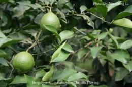 Genetic origin of cultivated citrus determined