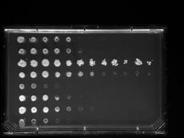 Genetic patterns rise from huge yeast samples
