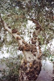Genome of bacteria responsible for tuberculosis of olive tree sequenced