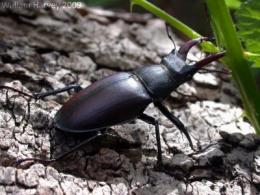 Ginger is key ingredient in recipe for conserving stag beetles