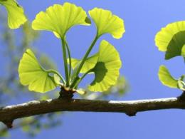 Ginkgo herbal medicines may increase seizures in people with epilepsy