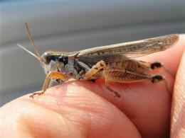 Grasshopper outlook strikes fear on Western range (AP)